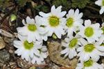 Callianthemum anemonoides